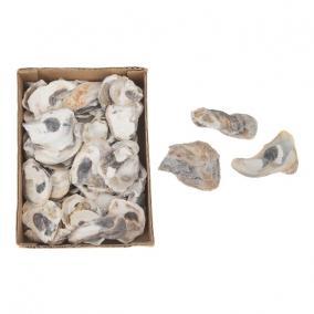 Kagyló 15x20x6cm 850gr natúr