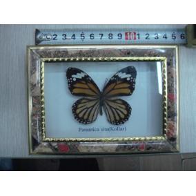 Keretezett pillangó